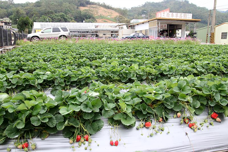 陽光草莓園